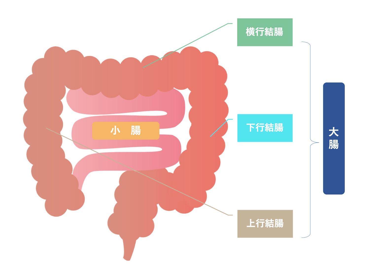 腸の位置を説明する画像